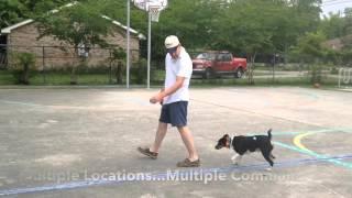 18 month Decker Giant Rat Terrier Tug: Baton Rouge Dog Trainer