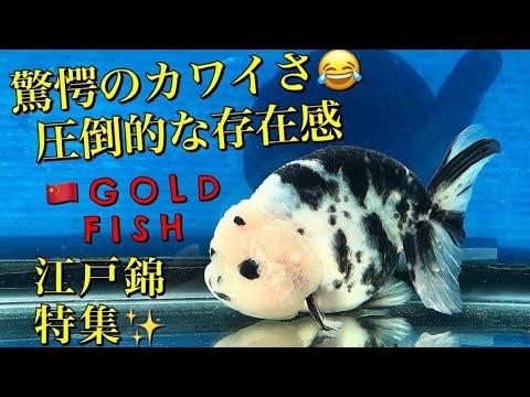 金魚がパンダ?中国パンダらんちゅう(パンダ江戸錦)土浦観賞魚センター