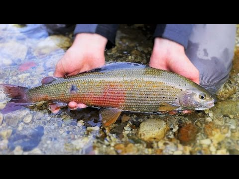 Fly Fishing Austria - Brown Trout & Grayling