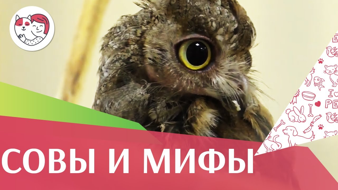 5 самых популярных мифов о совах на ilikepet