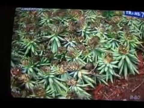 Video cara menanam  nanas  dilahan gambut part 1