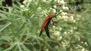 preview picture of video 'Ein Rotdeckenkäfer Familie Lycidae bei Arba Minch, Äthiopien, net-winged beetle'