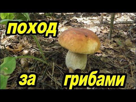 Поход за грибами.В поисках грибов.Mushroom picking.Looking for mushrooms.