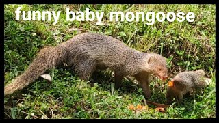 funny baby mongoose eating, the friendly indian gray mongoses, nevla, garangan video & videos