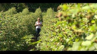 A málna termesztése és metszése