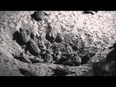 子ガメ 明石から大海原へ