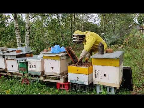 Пчеловодство.Проверка запасов кормов у пчел после закормки сиропом в зиму.Подготовка гнезд к зимовке