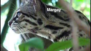 Children's Eternal Rainforest: Recent Cat Sightings