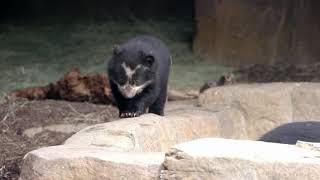 Andean Bear Cub Arrives