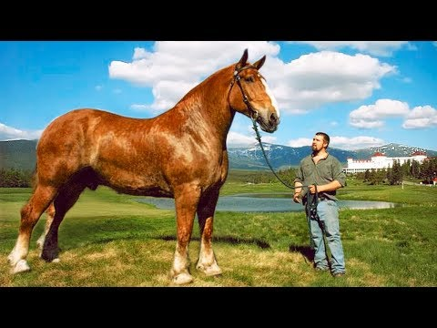 , title : 'The BIGGEST HORSES In The World 🐎