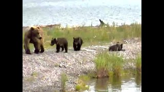 The Sad Loss Of A Bear Cub. Explore.org 07 July 2020