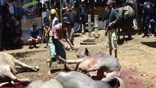 preview picture of video 'Buffalo massacre- Tana Toraja funeral ceremony'