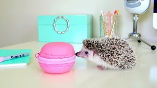 Cute Hedgehog Compilation ~ Hedgehog Escape & Giant Macaron