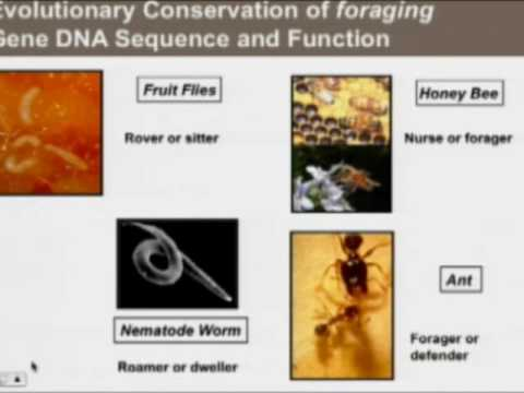 Marla Sokolowski, Ph.D., F.R.S.C. - The Foraging Gene: Will That Be Takeout?