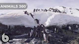 Chilling With Penguins | Animals In 360°