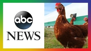 WATCH: ABC News Follows Activist Into Egg Farm