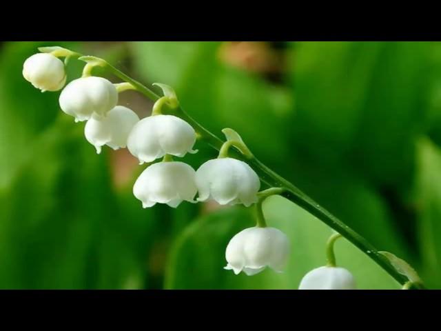 Видео Ландыш майский