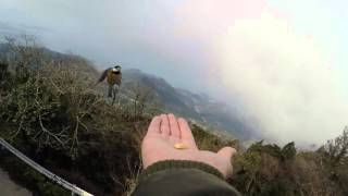 熊本金峰山ヤマガラさるすべりGoProHERO4Feedingthebirds