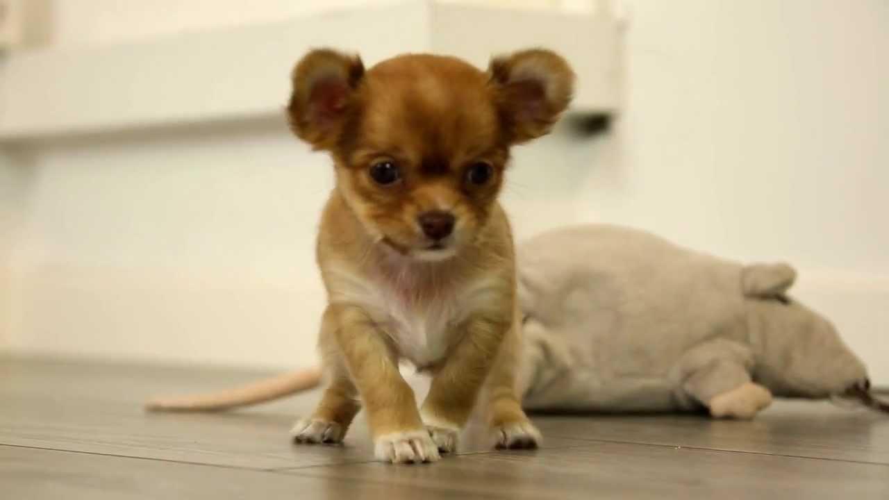 Welpen günstige kaufen chihuahua Hunde und