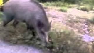 SMESNI VIDEO KLIPOVI divlja svinja