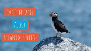5 Facts About Puffins