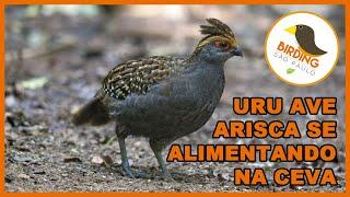 URU/Odontophoruscapueira
