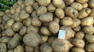 Посадка картофеля с отработанным грибным субстратом (окончание)