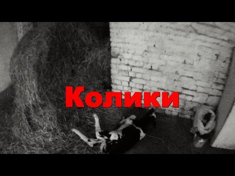 Колики у телёнка. Colic in the calf.