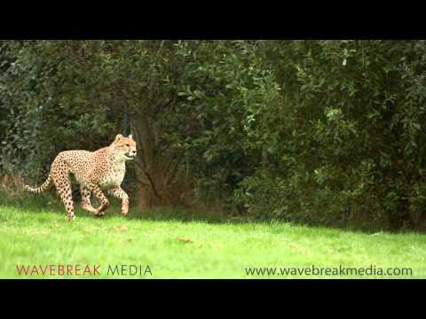 شاهد الفهد بالحركة البطيئة .