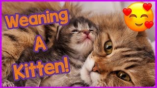 How to wean kittens - weaning kittens advice