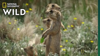 Prairie Dog v. Badger Faceoff | Prairie Dog Manor