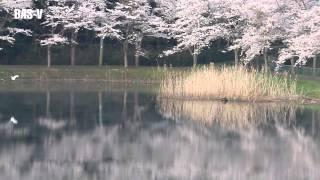 WonderfulMorning桜・2014・平筒沼