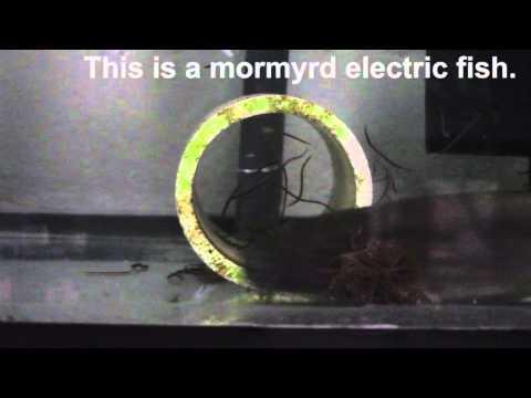 MSU's electric fish Christmas tree