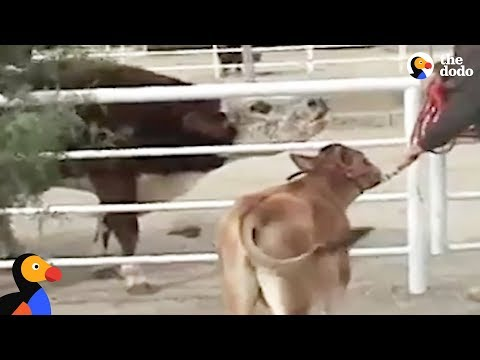 Crying Cow Mom Reunited With Calf in Magical Reunion | The Dodo