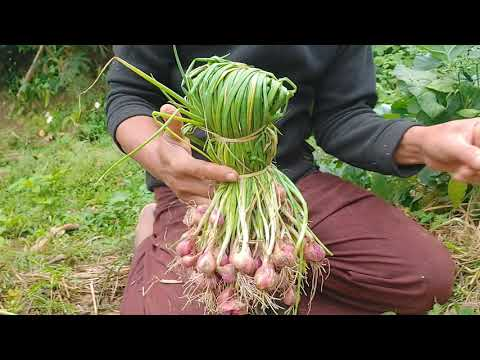 , title : 'Shallots. Growing Shallot is easier than you think.