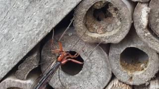 Ichnuemon wasp, Ephialtes manifestor? ovipositing into Red mason bee cocoon
