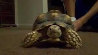 Chihuahua, Tortoise And Bearded Dragon
