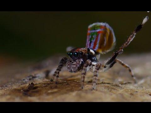 Pavouk tančí o život