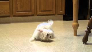 Смешной маленький щеночек мальтезе играет с хозяйским носком
