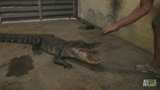 Gator in the Garage