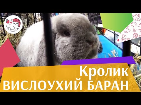 Кролик вислоухий баран на ilikepet. Особенности породы, уход