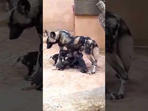 В Парку ХІІ Місяців сімейство африканських гієноподібних собак поповнилося 12-ю малюками