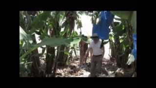 preview picture of video 'A Visit to a banana plantations of the Jordan Valley (near the Sea of ​​Galilee), Israel'