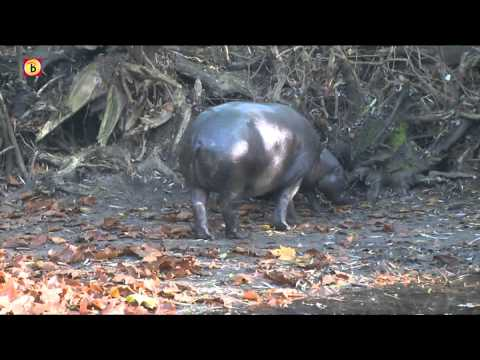Dwergnijlpaard Zoo Parc Overloon wordt één jaar en verhuist naar Japan