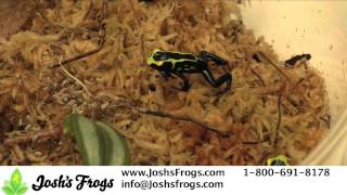 Dart Frogs As Pets