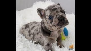 English Bulldog for sale / Amazing Lilac Tri Merle Puppy Boy