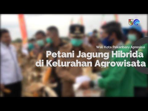 Wali Kota Apresiasi Petani Jagung Hibrida di Kelurahan Agrowisata