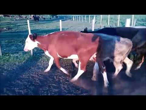 Afiche 22 Vacas de Invernada en Rivera