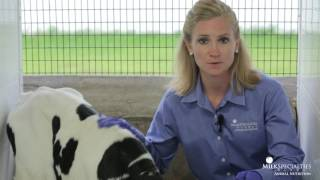 Calf Management Tips: Evaluating Dehydration