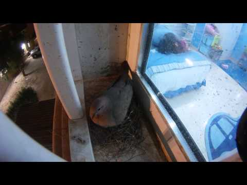 كويتي يوثق حياة بيضة حمامة لمدة 30 يوم